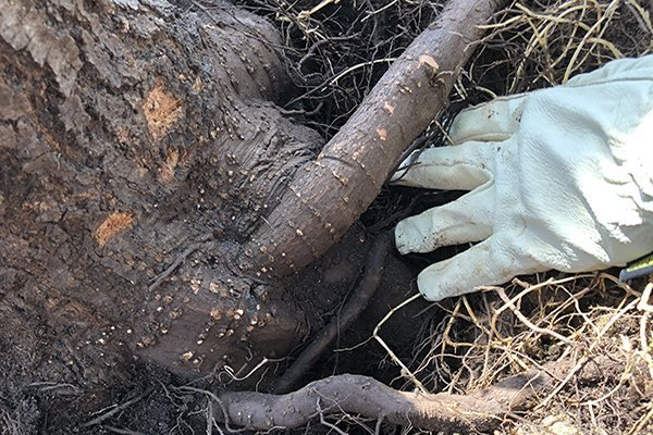 Man inspecting root