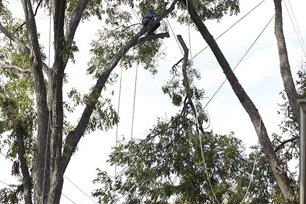 Large Tree Being Cut Down