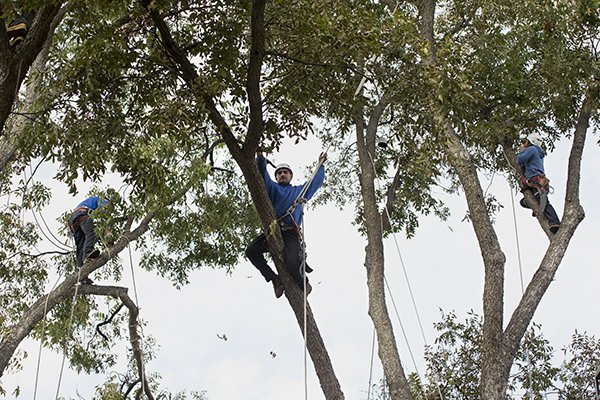 Three men trimming a large tree