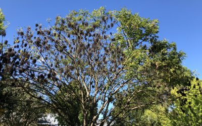 Ask Texas Tree Surgeons: What's Wrong with My Chinese Pistache? [UPDATED]
