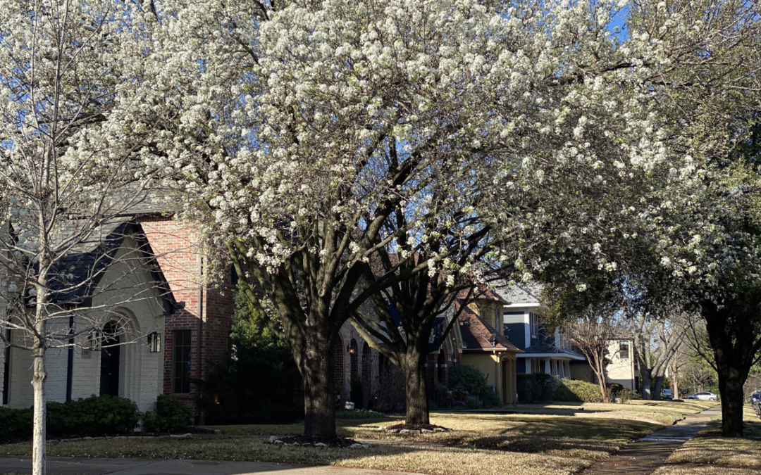 What is the Tree with White Blossoms in North Texas?