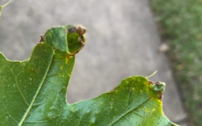 Ask Texas Tree Surgeons: What's Wrong With My Oak Trees?