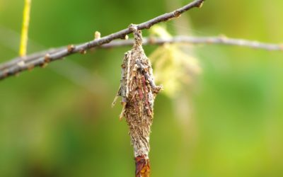 Ask Texas Tree Surgeons: What Can I Do About Bagworms?