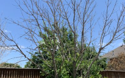 What To Do With Freeze-Damaged Ash and Elm Trees